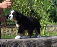 Gentleness & Sweet Bernese Mountain Puppies Seeking For Urgent Homes Here