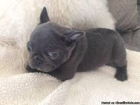 **Available Gorgeous Male AKC French Bulldog Puppy**