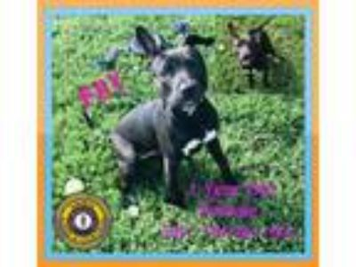 Adopt Fay a Pit Bull Terrier
