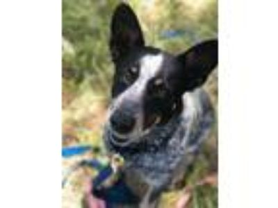 Adopt Bonnie a Gray/Blue/Silver/Salt & Pepper Australian Cattle Dog / Australian