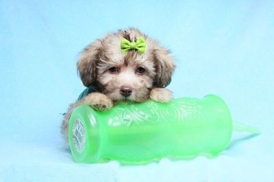 Toy and Teacup Malshi Puppies for Sale in Las Vegas! Financing and Shipping Available!