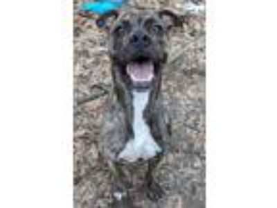 Adopt Bentley a Plott Hound, Mixed Breed