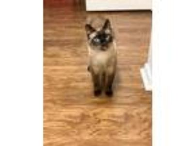 Adopt Champ a Siamese / Mixed (short coat) cat in New Orleans, LA (23150940)