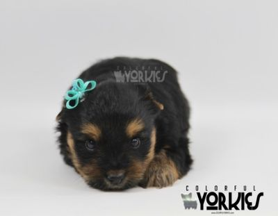 Yorkshire Terrier PUPPY FOR SALE ADN-89827 - ELLA