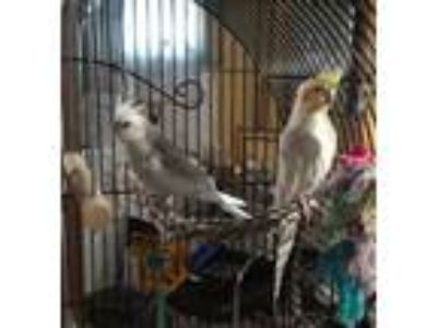 Adopt Razzles and Twix a Cockatiel