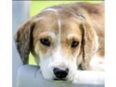Adopt Rusty a Labrador Retriever, Beagle