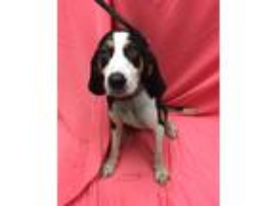 Adopt Sawyer a Tricolor (Tan/Brown & Black & White) Hound (Unknown Type) / Mixed