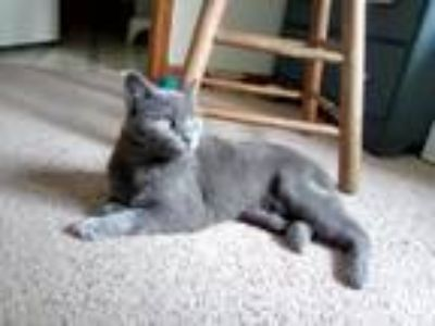 Adopt Carol Danvers a Gray or Blue Russian Blue cat in Greeley, CO (25636671)