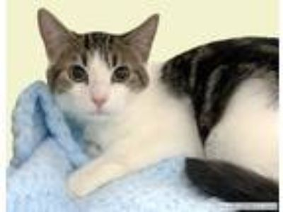 Adopt Melbourne a Gray or Blue Domestic Shorthair cat in Westchester