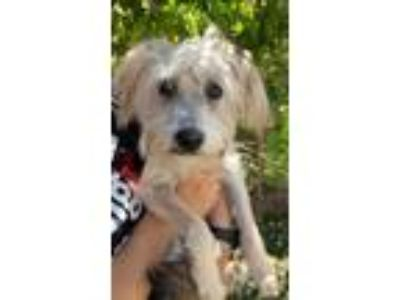 Adopt LIBERTY a White Havanese / Poodle (Miniature) / Mixed dog in Palm Desert