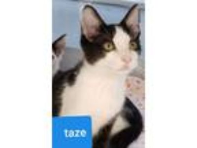 Adopt Taze a Black (Mostly) Domestic Shorthair / Mixed (short coat) cat in