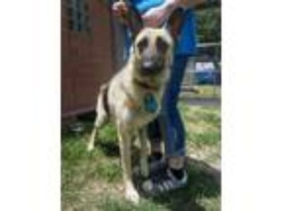 Adopt a Brown/Chocolate - with Black German Shepherd Dog / Mixed dog in Houston