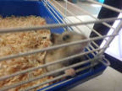 Adopt MUMUL a Silver or Gray Hamster / Mixed small animal in Van Nuys