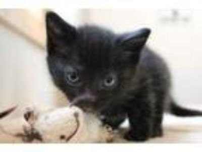 Adopt Audi a All Black Domestic Shorthair / Domestic Shorthair / Mixed cat in