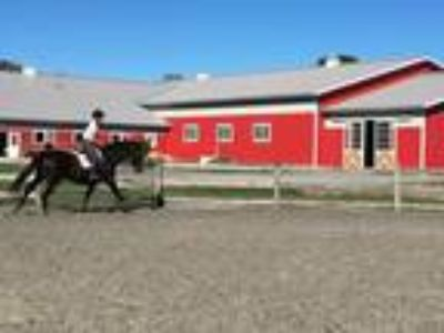 On Farm Lease Flashy honest comfortable eq horse