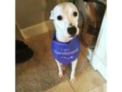 Adopt Charley a White Whippet / Jack Russell Terrier / Mixed dog in Dallas