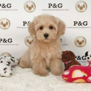 Maltese-Poodle (Toy) Mix PUPPY FOR SALE ADN-104763 - MALTIPOO KATIE FEMALE