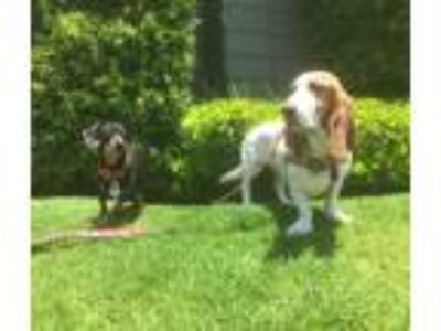Adopt Molly HH a Tan/Yellow/Fawn - with White Basset Hound / Mixed dog in