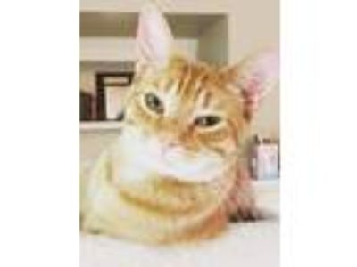 Adopt Mikey a Domestic Short Hair, Tabby