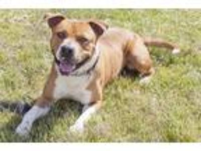 Adopt Bruno a Pit Bull Terrier / Mixed dog in Napa, CA (25211304)