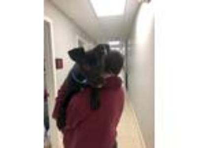 Adopt Ruger a Labrador Retriever / Pit Bull Terrier / Mixed dog in Fall River