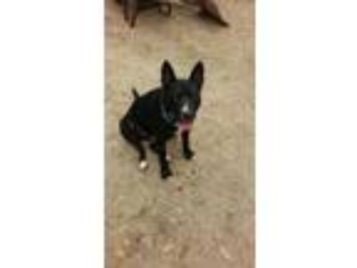 Adopt Bentley H a Black - with White Australian Cattle Dog / Mixed dog in