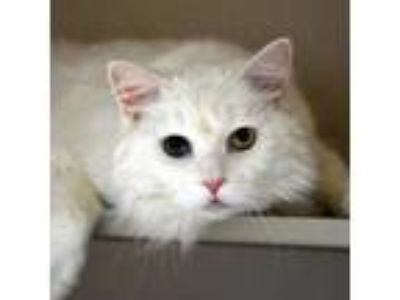 Adopt Pookie 190394 a White Domestic Longhair cat in Escanaba, MI (25327696)