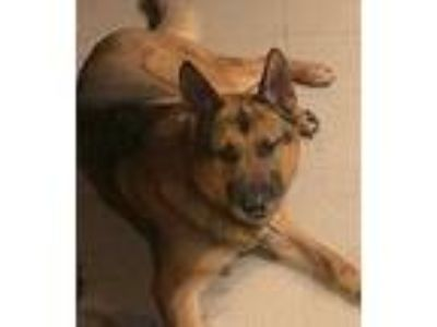 Adopt Diamond Don a German Shepherd Dog