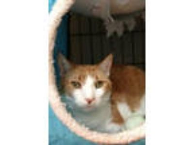 Adopt Ginger the Cat * a Tabby