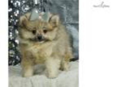 Squishy Akc Pomeranian Puppy available CUTE!