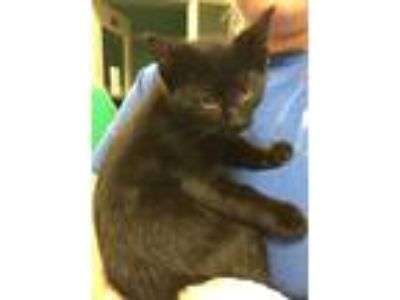 Adopt Snowflake a Domestic Shorthair / Mixed cat in Pittsburgh, PA (25539023)