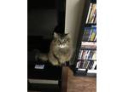 Adopt Maya a Calico or Dilute Calico Maine Coon cat in San Antonio