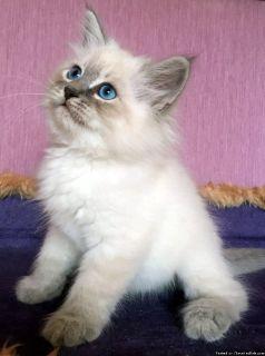 Hypoallergenic Purebred Siberian Male Kitten