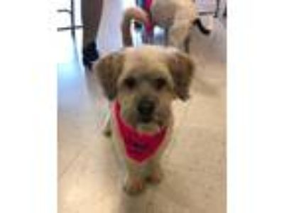 Adopt Molly a Tricolor (Tan/Brown & Black & White) Shih Tzu / Poodle (Miniature)