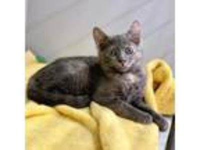 Adopt Karen a Domestic Short Hair