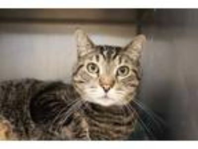 Adopt JACKSON a Brown Tabby Domestic Shorthair / Mixed (short coat) cat in