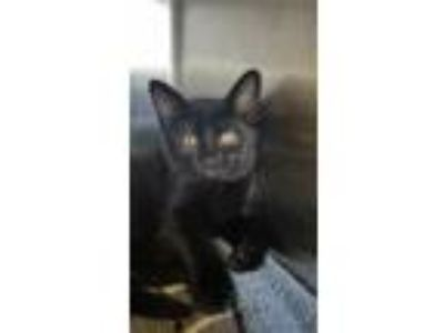Adopt *MARLENE FROM ACCOUNTING a All Black Domestic Shorthair / Mixed (short