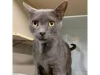 Adopt Grayce a Gray or Blue Russian Blue cat in League City, TX (25587417)