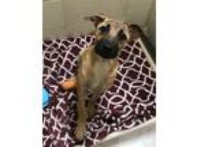 Adopt Rose a Black Mouth Cur, German Shepherd Dog