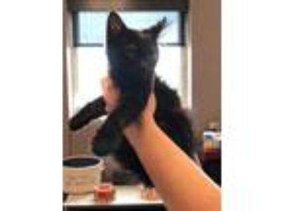 Adopt Found stray: Dewey a All Black Domestic Longhair / Mixed cat in Rockwall