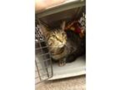 Adopt Clover @ Petsmart Michigan City a Domestic Short Hair