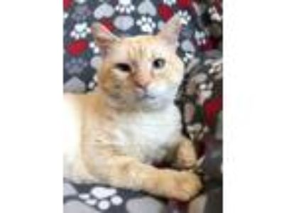 Adopt Elliott a Siamese / Mixed (short coat) cat in Valley Park, MO (21616995)