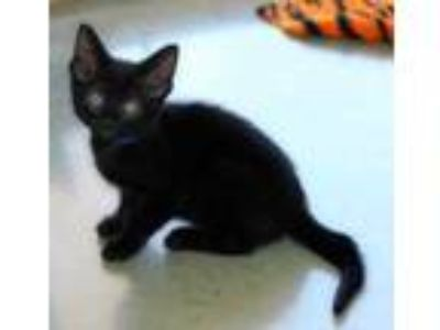 Adopt Orion a All Black Domestic Shorthair / Domestic Shorthair / Mixed cat in