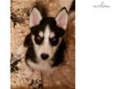 AKC registered siberian husky female puppy