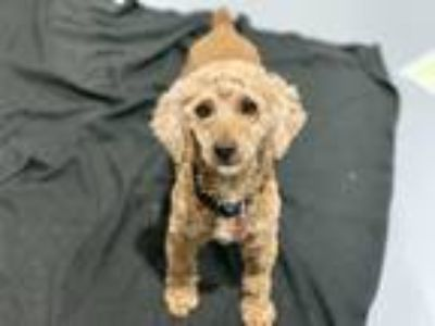 Adopt Sweetie a Red/Golden/Orange/Chestnut Miniature Poodle / Spaniel (Unknown
