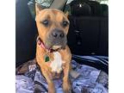 Adopt Bellona a Pit Bull Terrier / Mixed dog in Austin, TX (25039684)