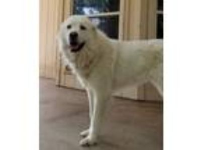 Adopt Chaya a White Great Pyrenees / Mixed dog in Statewide, TX (23745056)