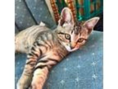 Adopt Pichu a Brown or Chocolate Domestic Shorthair cat in St.