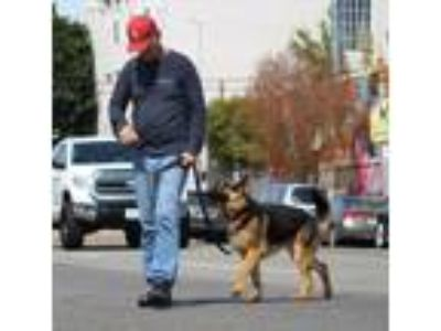 Adopt Duffy von Goch a German Shepherd Dog