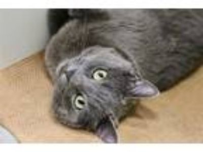 Adopt MUNCHA a Gray or Blue Domestic Shorthair / Mixed (short coat) cat in